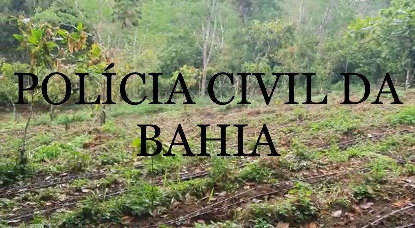 Polícia Civil descobre plantação de maconha no município de Ibirataia