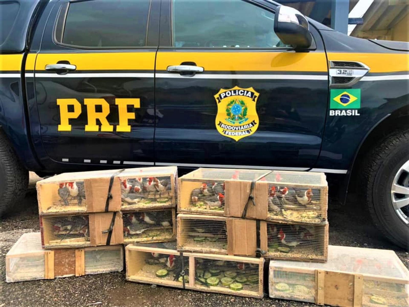 PRF resgata 130 cardeais dentro de porta-malas de carro em Poções